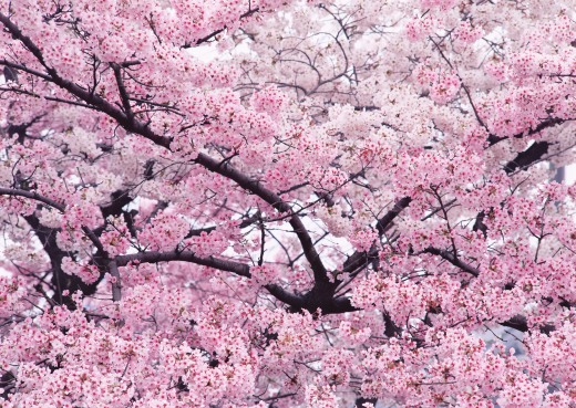 cherry_trees_in_highdefinition_images.jpg